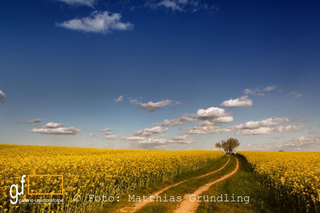 Weg durchs Rapsfeld bei Mellenthin