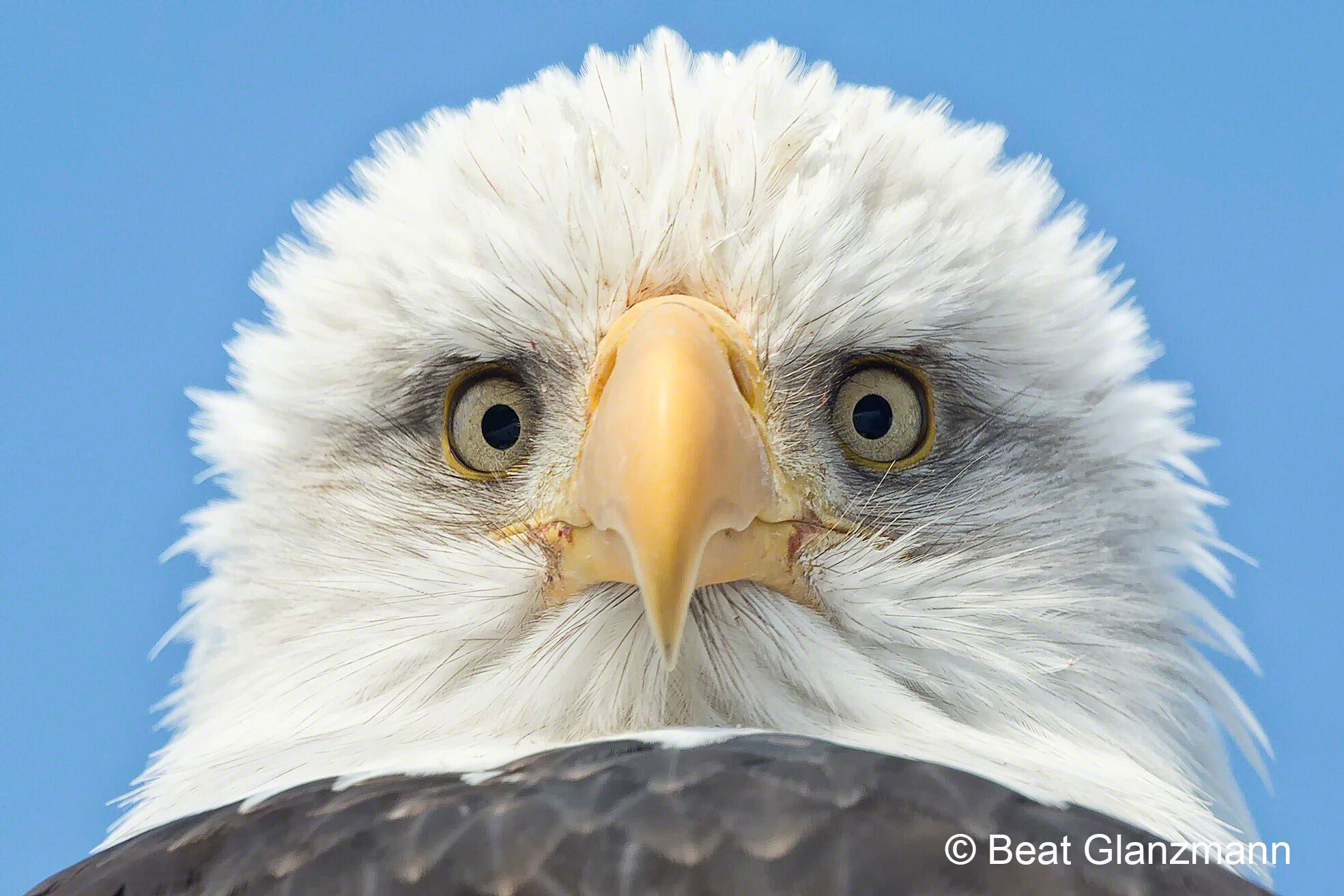 ... Weißkopfseeadler