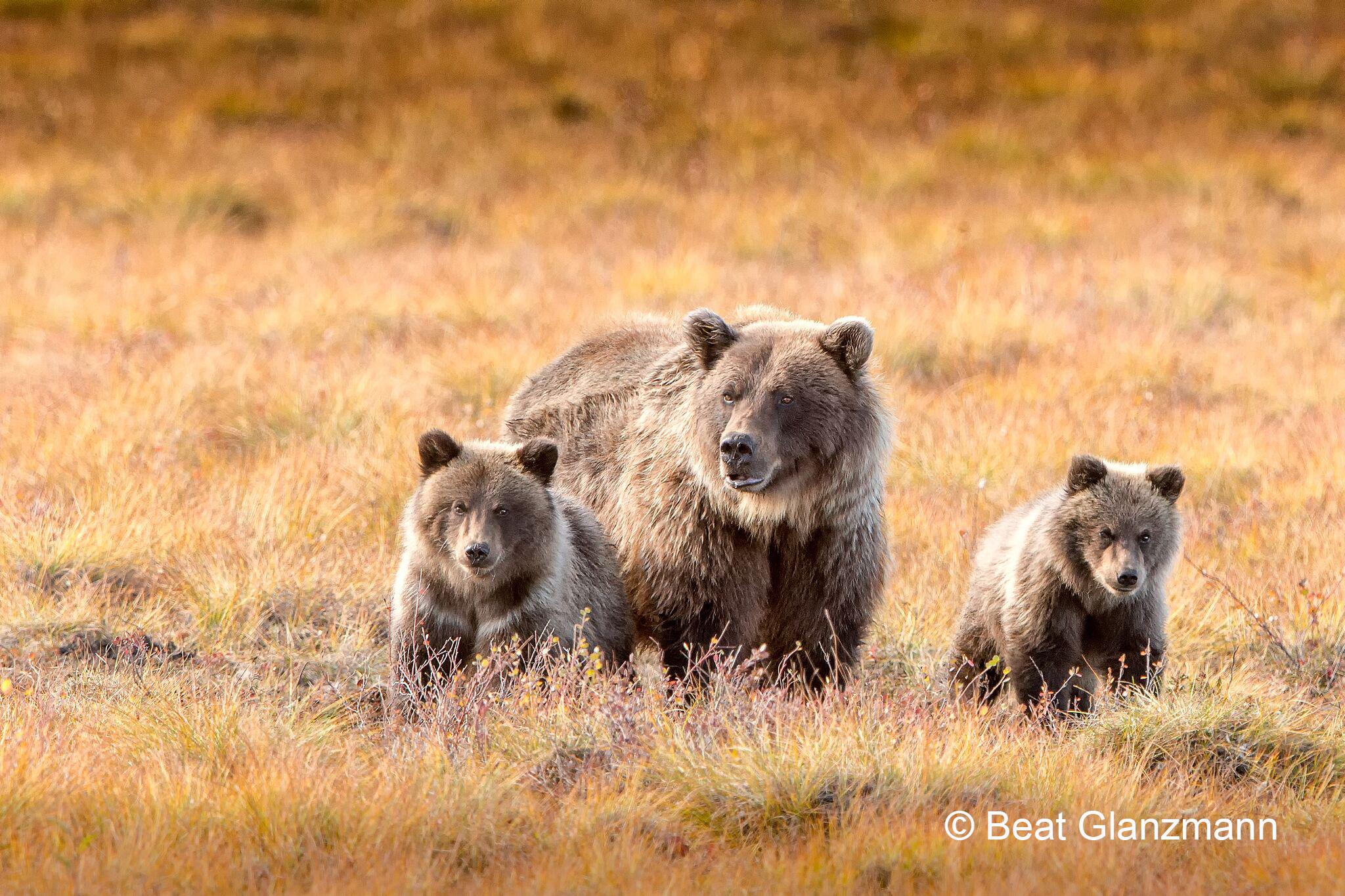 ... Bärenfamilie