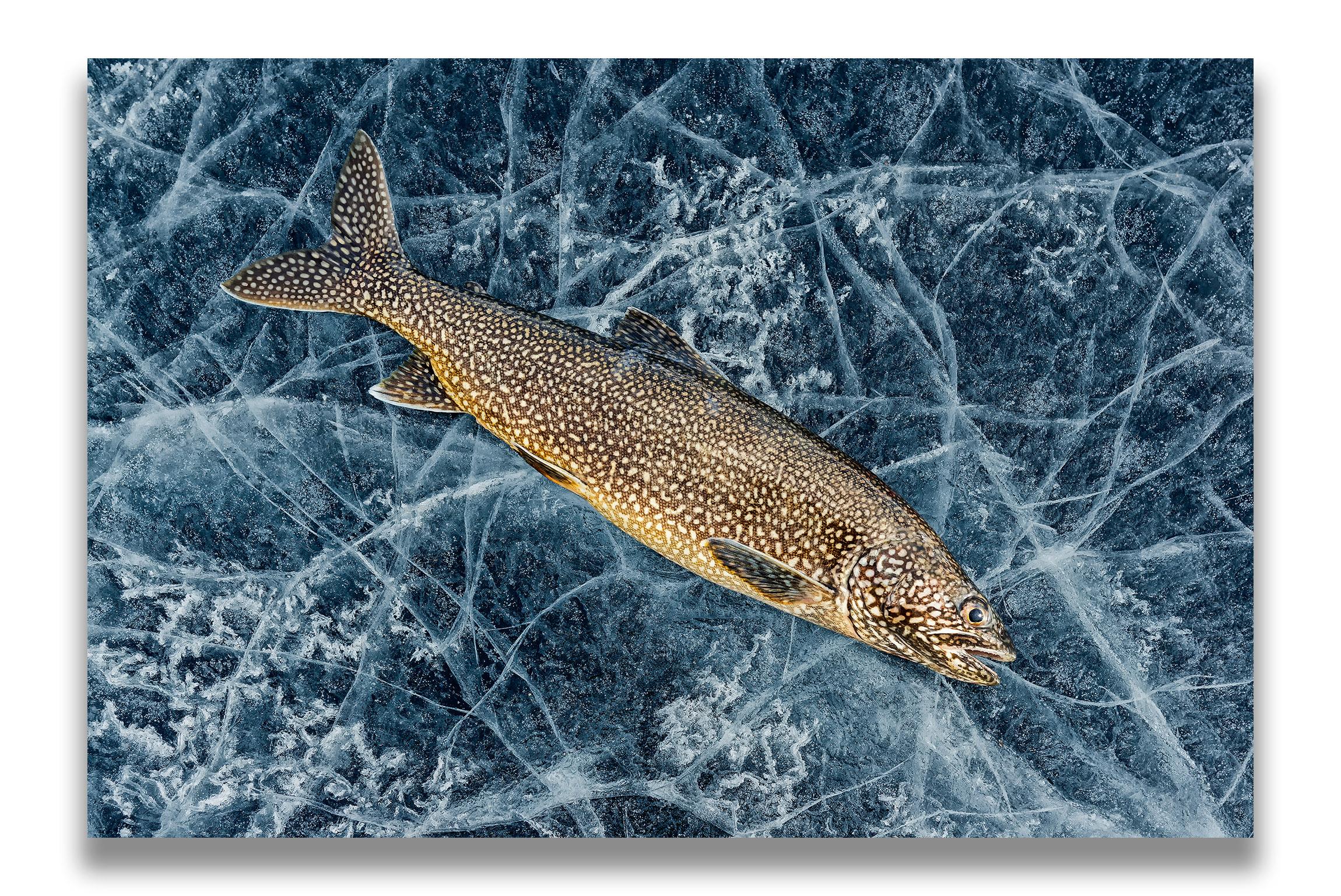 Arktischer Saibling auf Eis. Foto: Beat Glanzmann